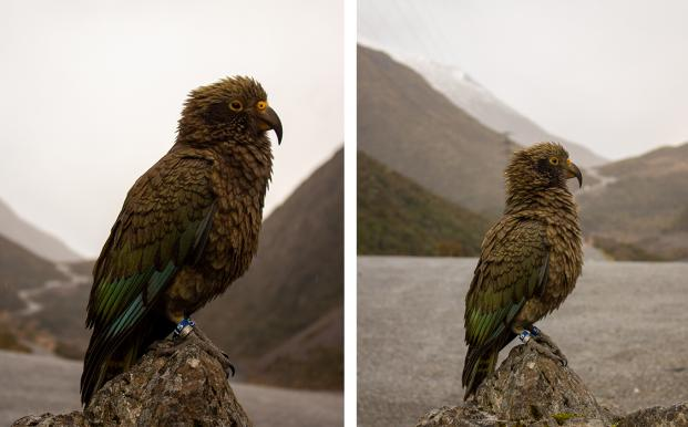 kea Animal Lover Makes Most of Study Experience 1125x700